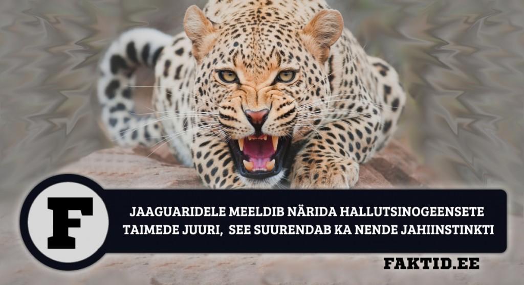 JAAGUARIDELE MEELDIB NÄRIDA HALLUTSINOGEENSETE TAIMEDE JUURI, SEE SUURENDAB KA NENDE JAHIINSTINKTI